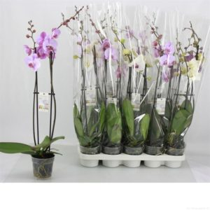 ORCHID PHALAENOPSIS MIX 2BR