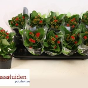 KALANCHOE RED1