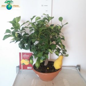 LEMON TREE1
