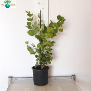 Jasminum sambac1