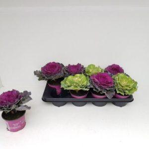 Brassica 12-15cm