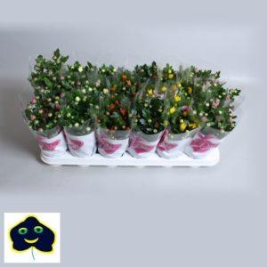 Chryrsanthemum mix