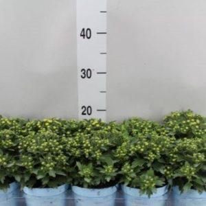 Chrysanthemo kitrino