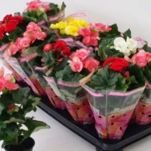 begonia mix 9-27cm
