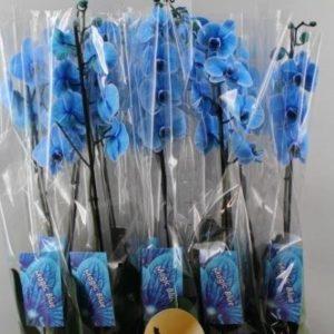 phalaenopsis blue