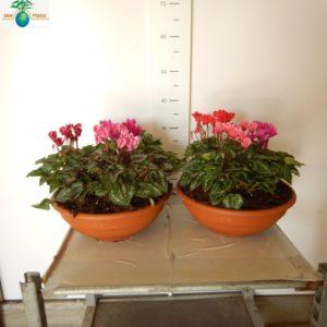 CYCLAMEN 3 PLANTS