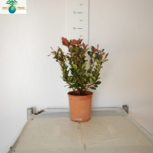 PHOTINIA SMALL
