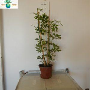 SHCEFLERA 2 PLANT
