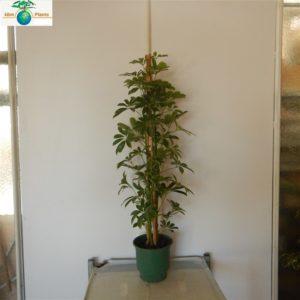 SHCEFLERA 3 PLANT