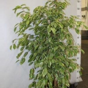 FICUS GOLDEN KING 10.90