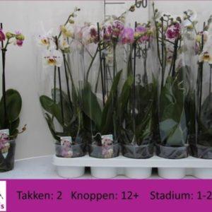 Phalaenopsis mixed 2 spike 5.50