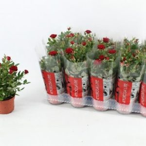ROSA RED 1.20