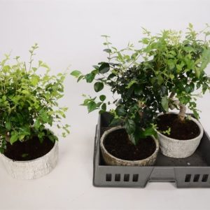 BONSAI LIGUSTRUM KERAMIKO 950
