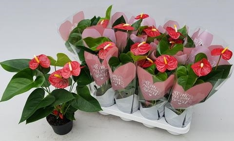 ANTHURIUM ROYAL