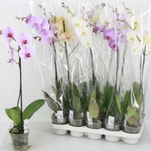 PHALENOPSIS MIX 1 SP